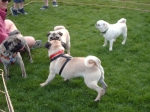 THIS PUG IN THE FRONT WAS SO EXCITED ALL HE COULD DO WAS BARK..HE DIDN'T KNOW WHAT TO THINK!! HIS NAME WAS CAPTAIN!
