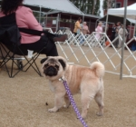 Titan at the pug show..He says if it was a beauty contest I would get first  place!!  July 18,2010